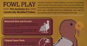 The-Anatomy-of-a-Genetically-Modified-Turkey-(Infographic)