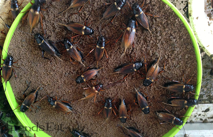 Thailand Insects